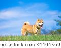 柴犬 叢林犬 毛孩 34404569