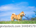 柴犬 叢林犬 毛孩 34404570