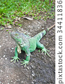 green ground iguana 34411836