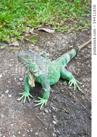Green Iguana on ground 34411836