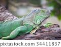 green iguana wood 34411837