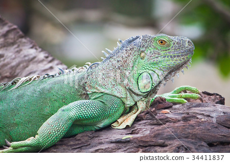 green iguana on wood 34411837