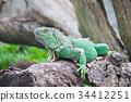 green iguana wood 34412251