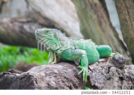 green iguana on wood 34412251