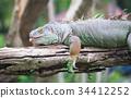 green iguana wildlife 34412252