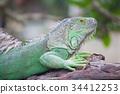 สีเขียว,เขียว,อิกัวนา 34412253
