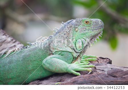 green iguana on wood 34412253