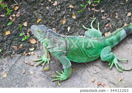 Green Iguana on ground 34412263