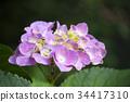 hydrangea, pink, bloom 34417310