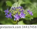 Purple Hydrangea 34417456