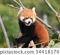 小熊猫 34418170