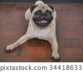 Adorable pug dog lying on floor at home 34418633