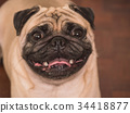 Close up of Adorable pug dog 34418877