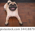 Adorable pug dog lying on floor at home 34418879