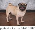 Adorable pug dog standing on floor at home 34418887