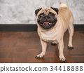 Adorable pug dog standing on floor at home 34418888