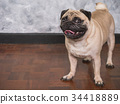 Adorable pug dog standing on floor at home 34418889