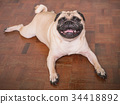 Adorable pug dog lying on floor at home 34418892