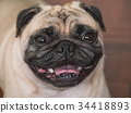 Close up of Adorable pug dog, 3 year old 34418893