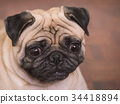 Close up of Adorable pug dog, 3 year old. 34418894