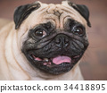 Close up of Adorable pug dog, 3 year old 34418895