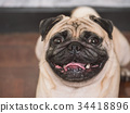 Close up of Adorable pug dog, 3 year old 34418896