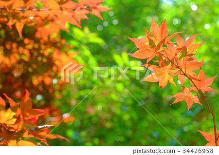 여름 잎, 가을의 단풍 34426958