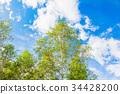 white, birch, early 34428200