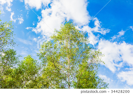 white birch, early autumn, cloud 34428200