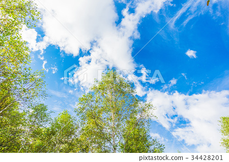 white birch, early autumn, cloud 34428201