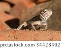 Lizards and reptiles in Sri Lanka 34428402