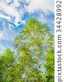 white, birch, early 34428992