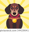 Brown Dachshund Close-up with Gold Medal on Neck 34429041