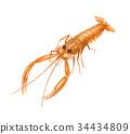 對蝦 斑節蝦 蝦 34434809