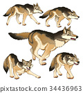 Group of isolated wolves 34436963