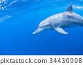 海豚 海底的 海裡 34436998