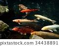 锦鲤 鲤鱼 鱼 34438891