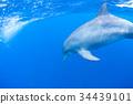 海豚 海底的 海裡 34439101