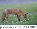 Kita狐狸的孩子们 34441005