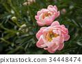 만개 한 모란 꽃 클로즈업 34448474