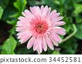 beautiful pink gerbera grow in the garden 34452581