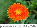 beautiful orange gerbera grow in the garden 34452582