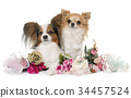 papillon dog and chihuahua 34457524