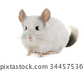 chinchilla in hands 34457536