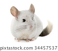 chinchilla in hands 34457537