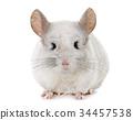 chinchilla in hands 34457538