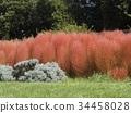 變成紅色的三洋美狄亞花卉博物館的Kochia 34458028