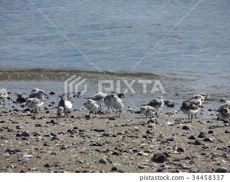 三趾滨鹬 候鸟 水禽 34458337