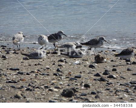 철새, 물가의 새, 백색 34458338