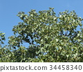 chinese tallow tree, fruit, unripe 34458340